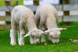 sheep_lamb_new_zealand_219889