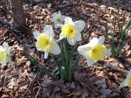 spring_daffodils_flower_236334